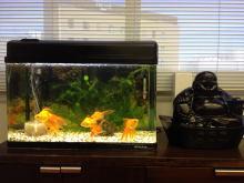 フォーデイズ金魚